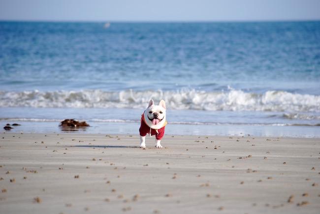 フレンチブルドッグのニノとノルマンディの海