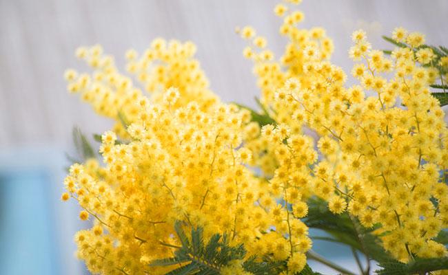 日本ではさくら!フランスではミモザ?春の訪れを告げる花々