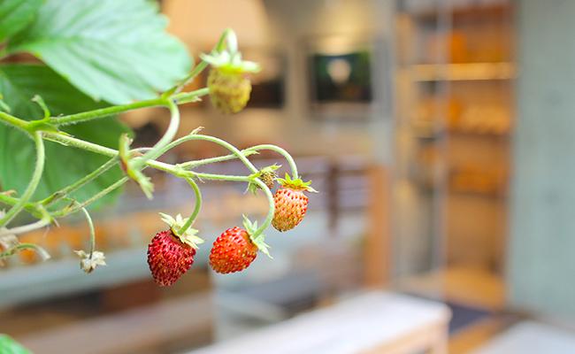 渋谷『GREEN THUMB』の壁面で栽培する果物