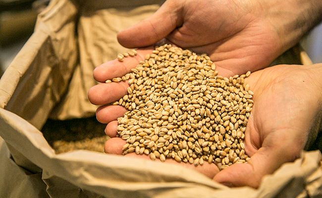製粉前の小麦