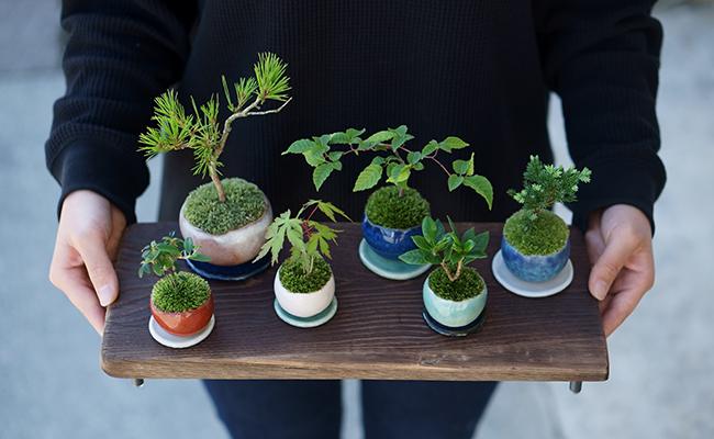 ミニ盆栽『石木花(せきぼっか)』