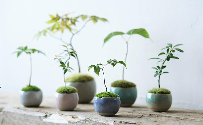 ミニ盆栽『石木花(せきぼっか)』が並んでいる様子