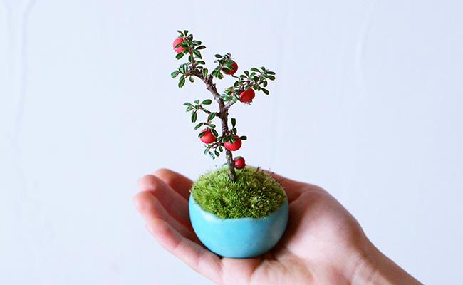 ミニ盆栽『石木花(せきぼっか)』のシロシタン