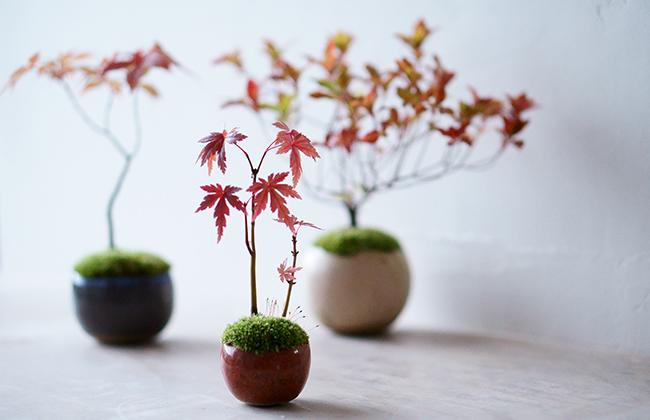 ミニ盆栽『石木花(せきぼっか)』のヤマモミジ