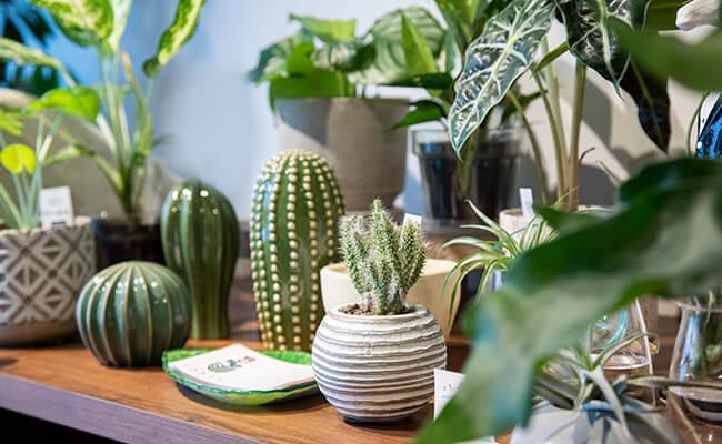 上町『くるみどり』の店内の観葉植物